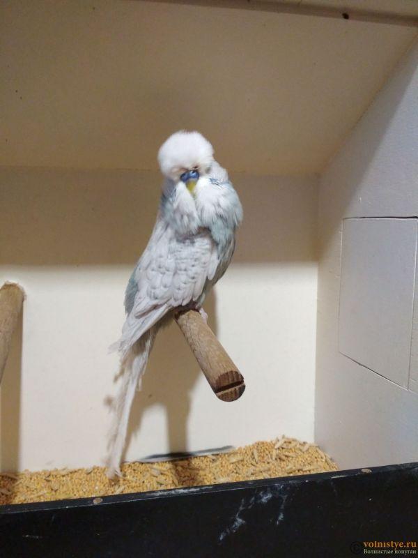Продам выставочных волнистых попугаев - IMG_20190411_192852.jpg