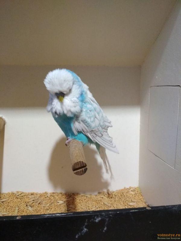 Продам выставочных волнистых попугаев - IMG_20190411_194218.jpg