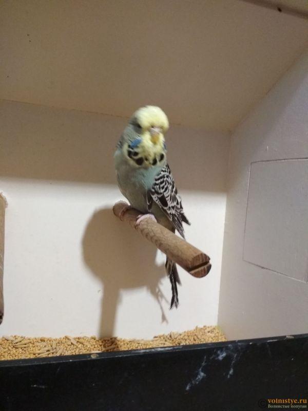 Продам выставочных волнистых попугаев - IMG_20190411_194320.jpg