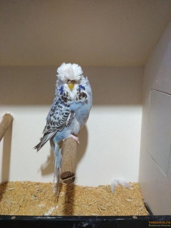 Продам выставочных волнистых попугаев - IMG_20190411_194857.jpg