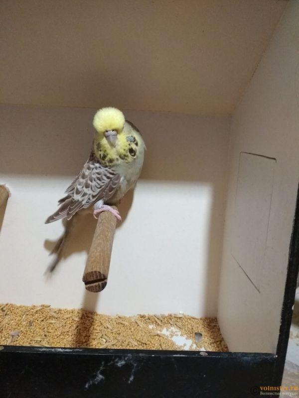 Продам выставочных волнистых попугаев - IMG_20190411_195815.jpg