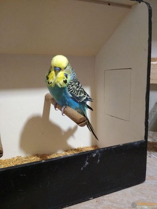 Продам выставочных волнистых попугаев - IMG_20190411_195843.jpg