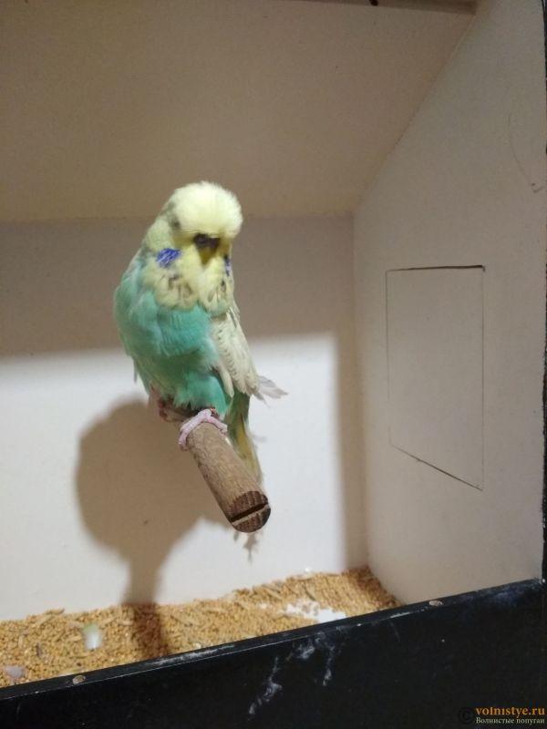 Продам выставочных волнистых попугаев - IMG_20190411_195903.jpg