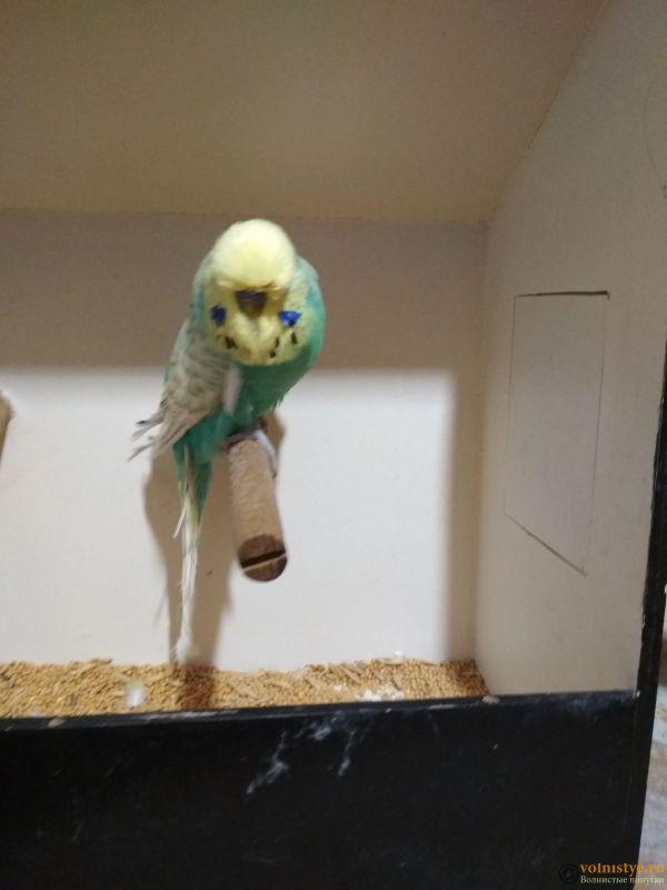 Продам выставочных волнистых попугаев - IMG_20190411_200012_1.jpg