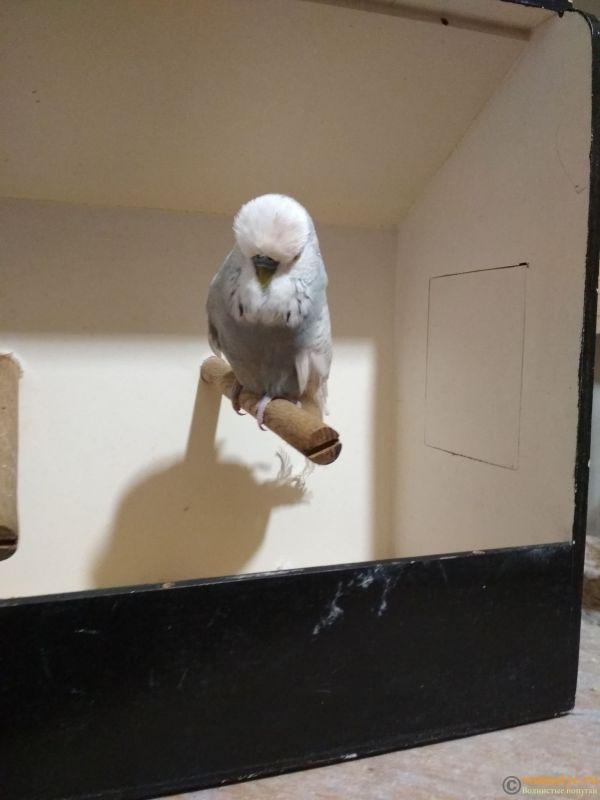 Продам выставочных волнистых попугаев - IMG_20190411_200108.jpg