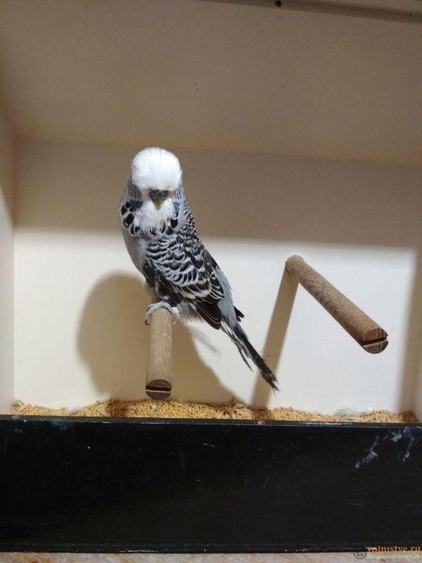 Продам выставочных волнистых попугаев - IMG_20190411_200303.jpg