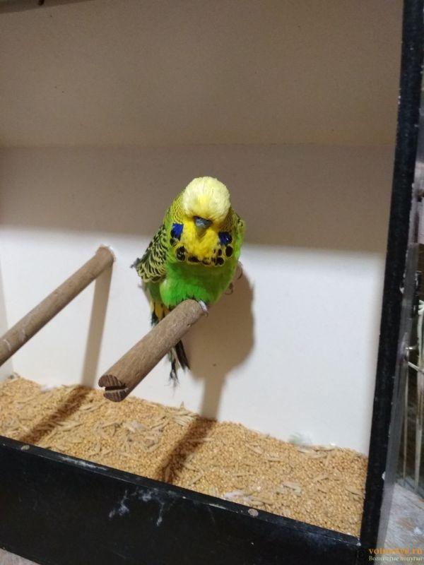Продам выставочных волнистых попугаев - IMG_20190411_200347.jpg