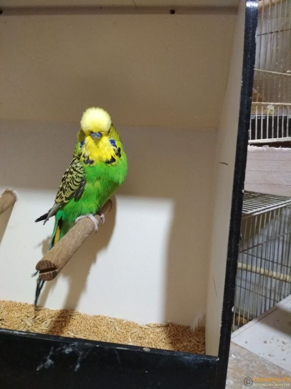 Продам выставочных волнистых попугаев - IMG_20190411_200522_1.jpg