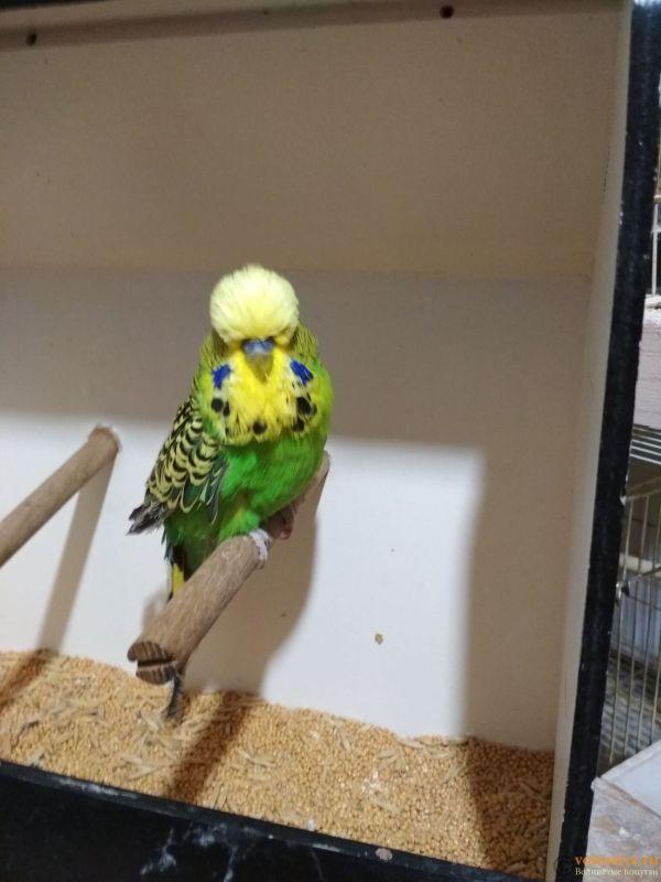 Продам выставочных волнистых попугаев - IMG_20190411_200550.jpg