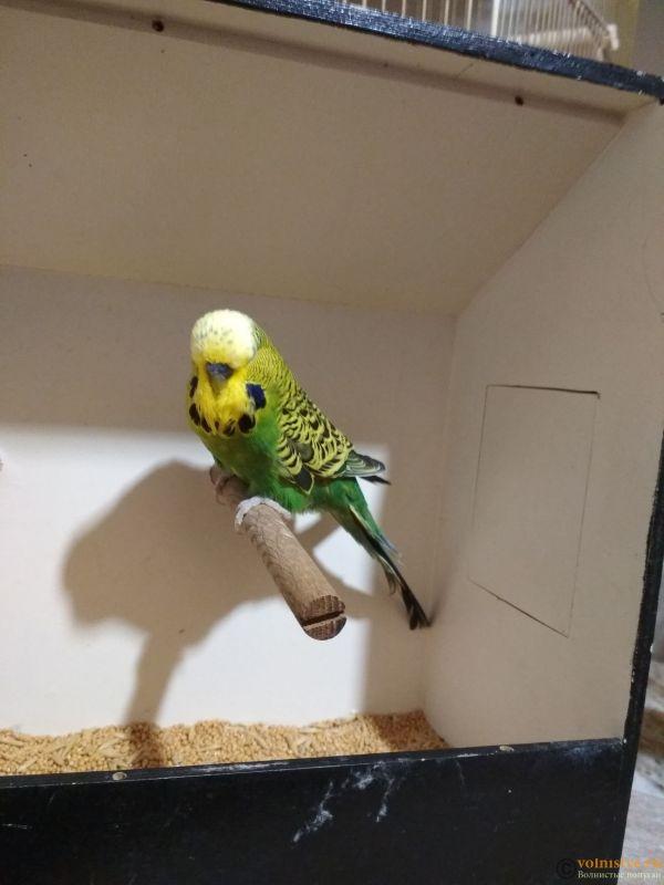 Продам выставочных волнистых попугаев - IMG_20190411_200640_1.jpg