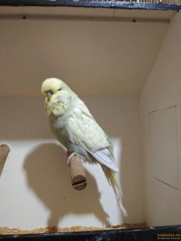 Продам выставочных волнистых попугаев - IMG_20190411_200728.jpg