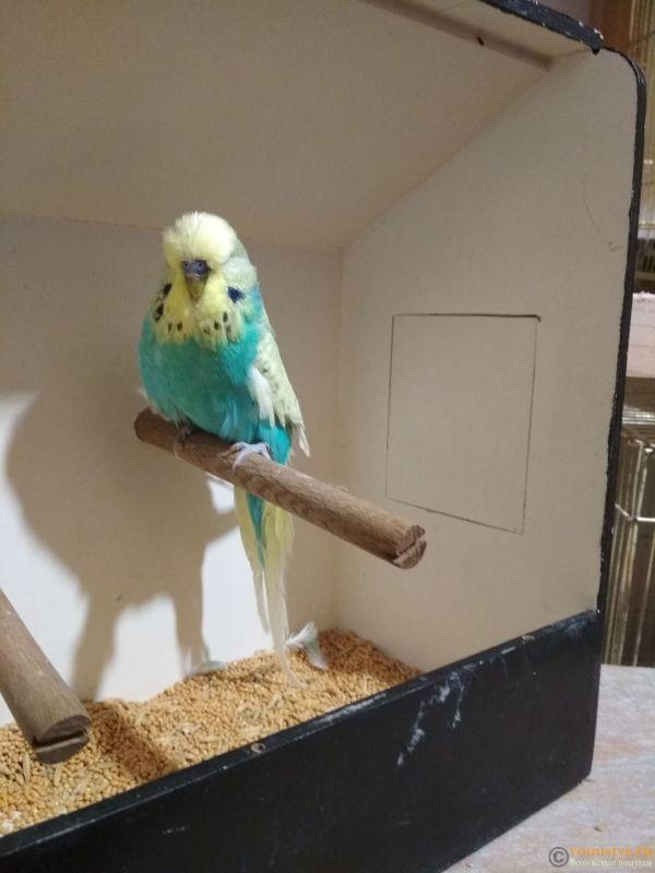 Продам выставочных волнистых попугаев - IMG_20190411_200917.jpg