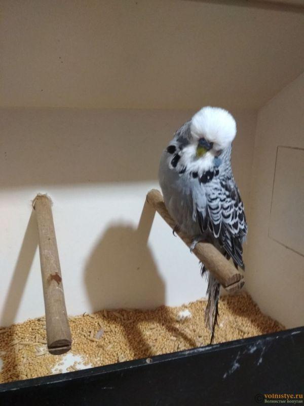 Продам выставочных волнистых попугаев - IMG_20190411_201212.jpg