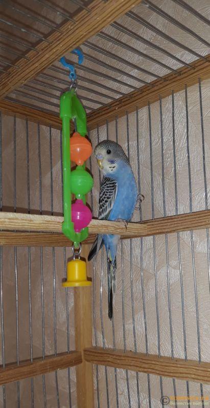 Определение пола и возраста попугаев № 12 - 20190520_161647.jpg