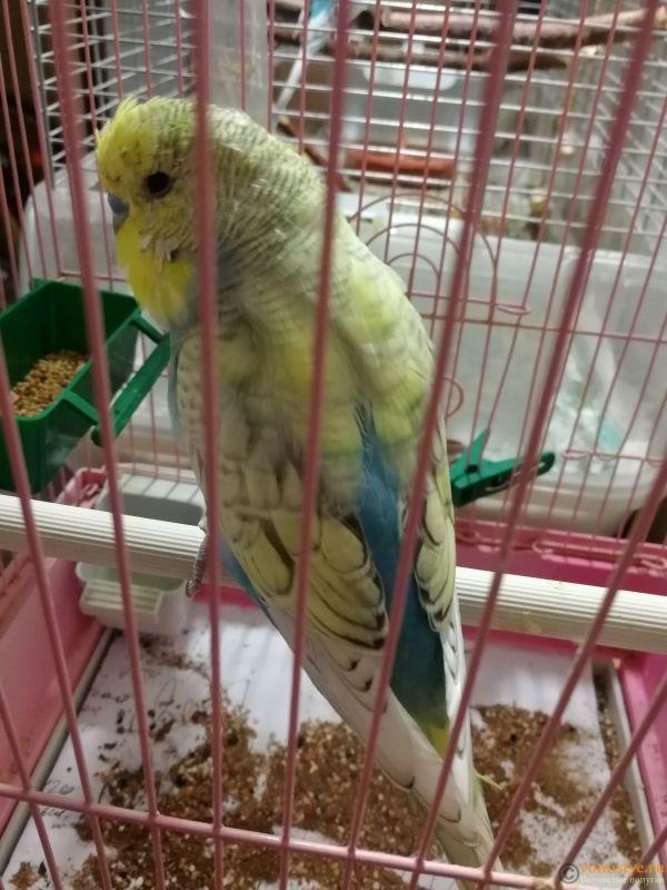 Имена для волнистых попугаев. - IMG_20190522_124613.jpg