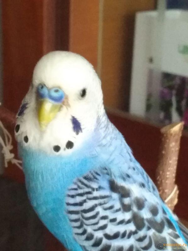 Непонятно что у клюва попугая - IMG_20190608_082948.jpg