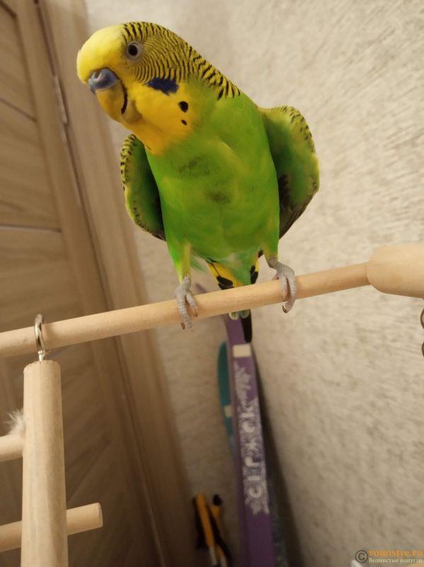 Пятна на грудке у волнистого попугая - IMG_20190612_001640.jpg