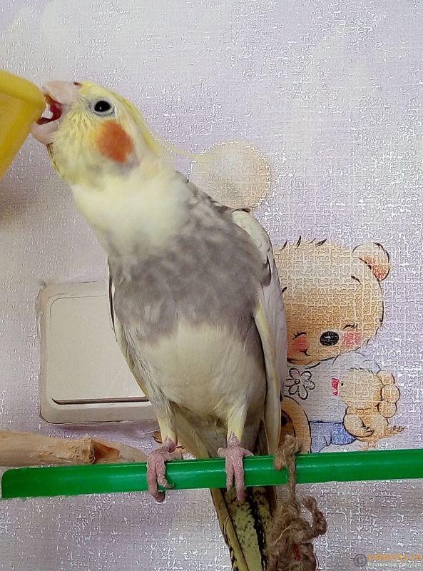 Определение пола и возраста попугаев корелла - 15604102421845570403305472194093.jpg