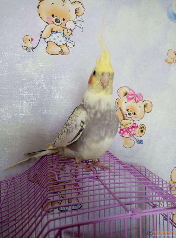 Определение пола и возраста попугаев корелла - 15604102935708389541692291981060.jpg