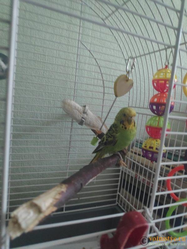 Отдам в дар волнистого попугая (мальчик) - aH52oKPeHxM.jpg