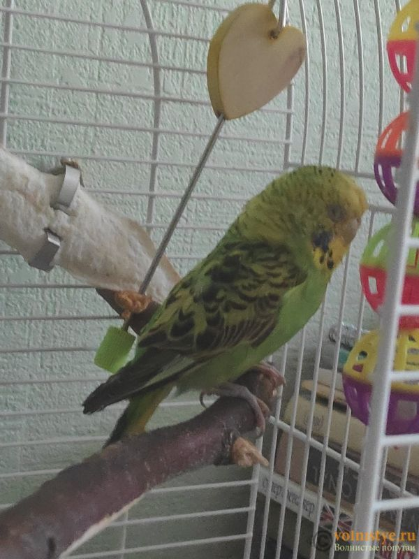 Отдам в дар волнистого попугая (мальчик) - dhWFAKxmPMM.jpg