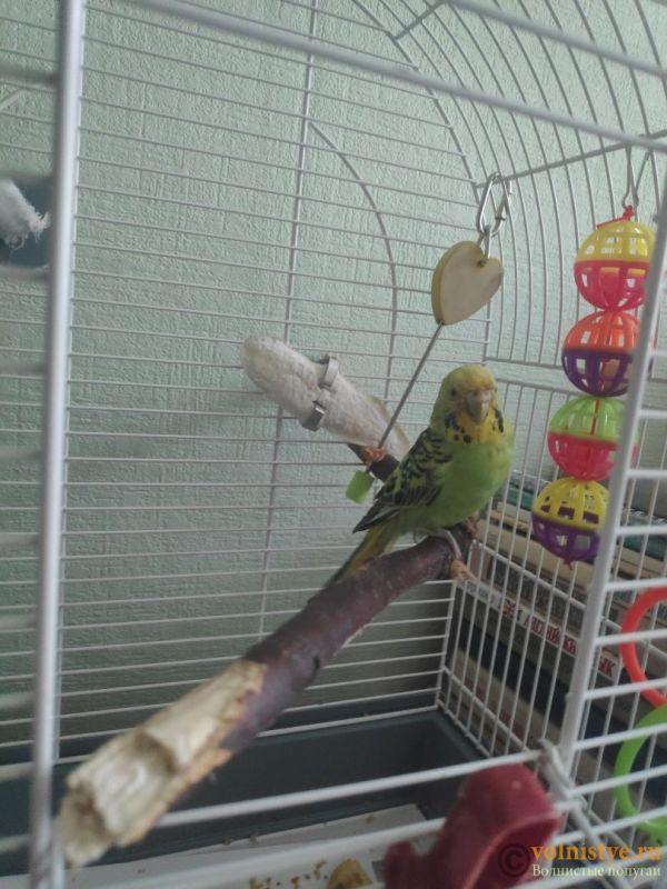Отдам в дар волнистого попугая (мальчик) - eLTJ-GL4SFg.jpg