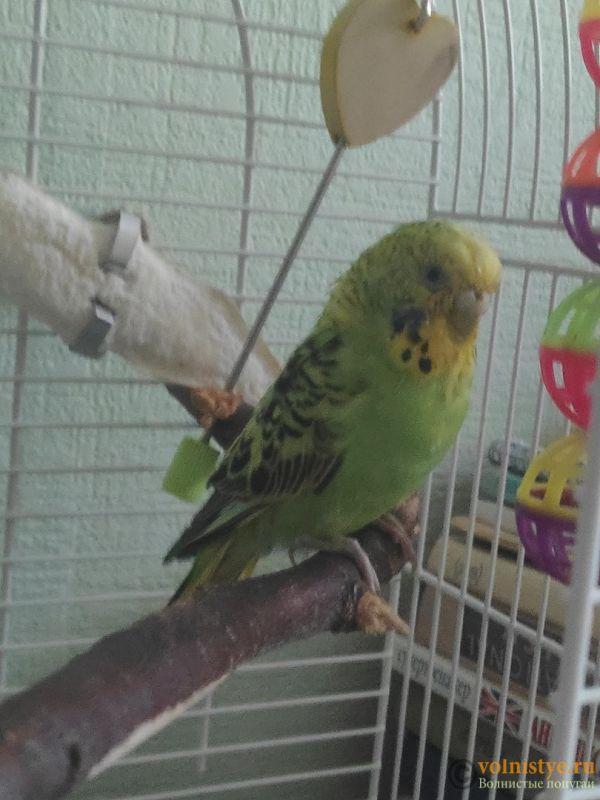 Отдам в дар волнистого попугая (мальчик) - MXAsDgpmGEI.jpg