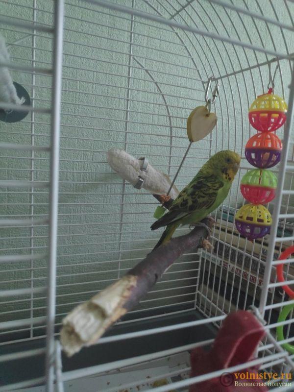 Отдам в дар волнистого попугая (мальчик) - zrECCaWxNIE.jpg