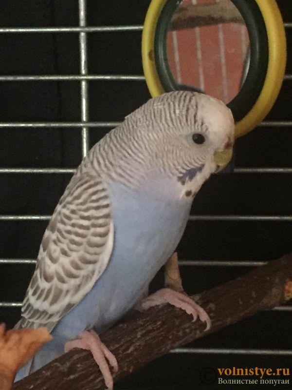 Вопрос жизни и смерти.Возьмём в дар волнистого попугая самочку. - Chiri-1.jpeg