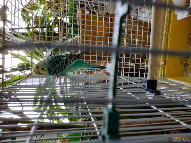 Отдам самочку волнистого попугая - возраст примерно 3 года - IMG_20190704_130219.jpg