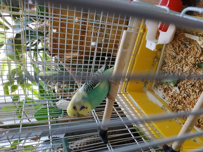 Отдам самочку волнистого попугая - возраст примерно 3 года - IMG_20190704_130206.jpg