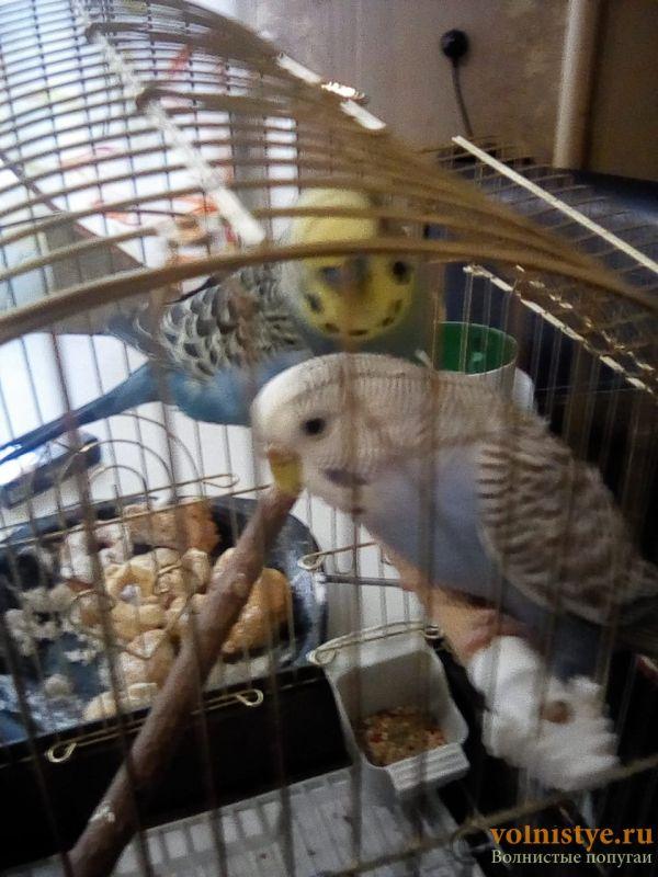 Вопрос жизни и смерти.Возьмём в дар волнистого попугая самочку. - 857ab289-dad6-4136-b71c-80b789e92e86.jpg