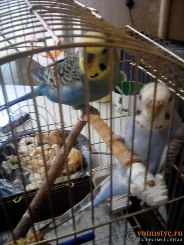 Вопрос жизни и смерти.Возьмём в дар волнистого попугая самочку. - 9dae78ca-f71f-43a6-a654-0c444dfd4794.jpg