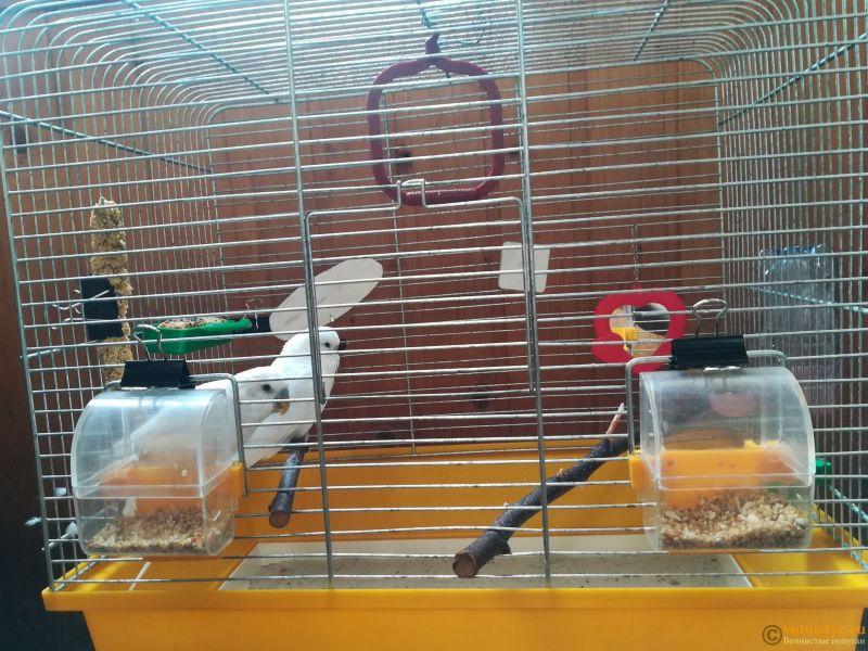 Продам двух волнистых попугаев парой - IMG_20190711_135418.jpg