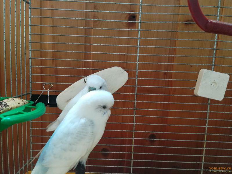 Продам двух волнистых попугаев парой - IMG_20190711_135506.jpg