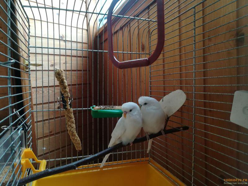 Продам двух волнистых попугаев парой - IMG_20190711_135520.jpg