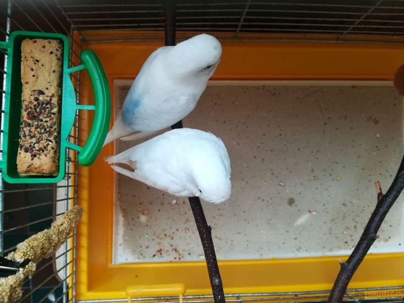 Продам двух волнистых попугаев парой - IMG_20190711_135146.jpg