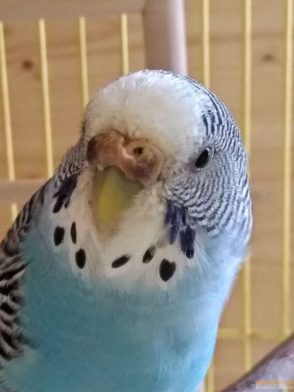 Гиперкератоз у попугая - IMG_20190712_153706.jpg