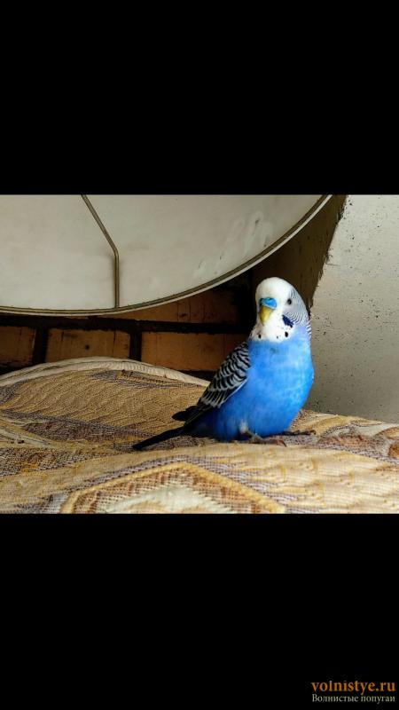 Найден попугайчик самец - 68EBBA22-E84D-4AF5-B332-2EB4CC5FB0C1.png
