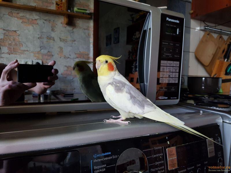 Отдам попугая корелла Москва - 15643059881964160804039823564765.jpg