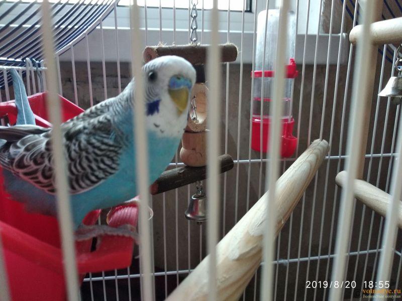 Помогаем советом в приручении попугая - №2 - IMG_20190820_185532.jpg
