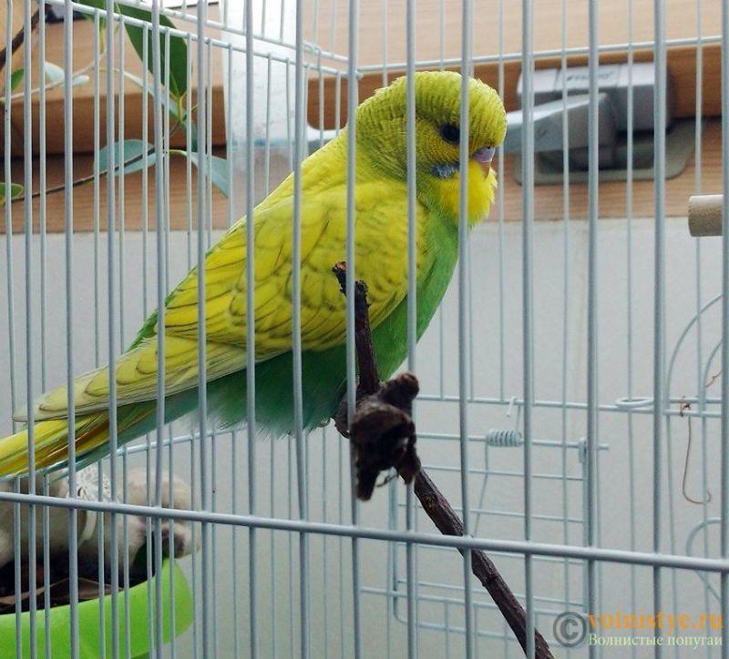 Попугай Шуша - 4.jpg