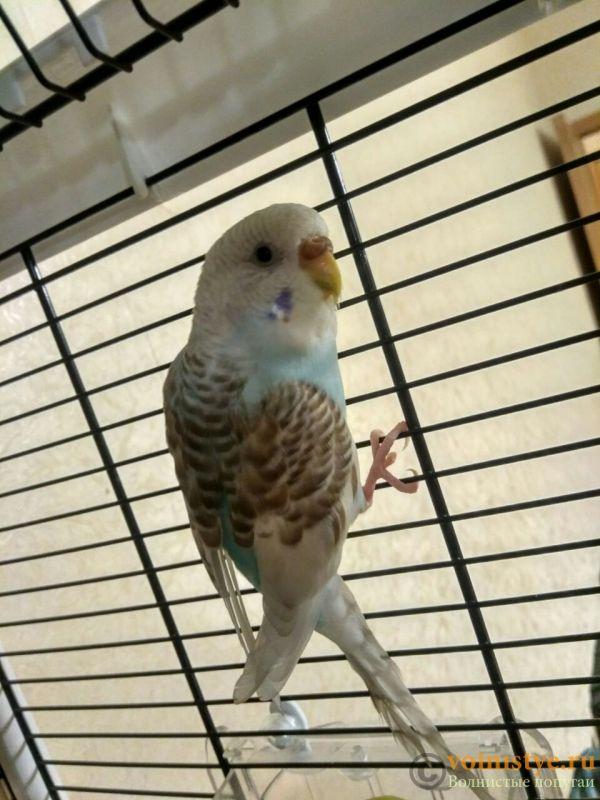 Какого окраса ваши попугаи и какого у них получились птенцы? - photo5444859758197714215 (1).jpg