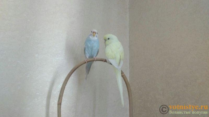 Какого окраса ваши попугаи и какого у них получились птенцы? - photo5463256838293269643.jpg