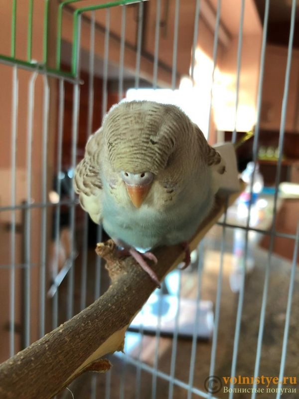 Определение пола и возраста попугаев № 12 - B5E3ED23-824F-4A72-9223-C1F19EBDFB1E.jpeg