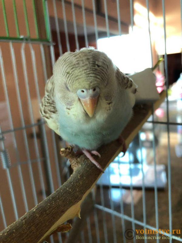 Определение пола и возраста попугаев № 12 - 5796DE19-856D-491D-8390-5B1A8E0690E8.jpeg