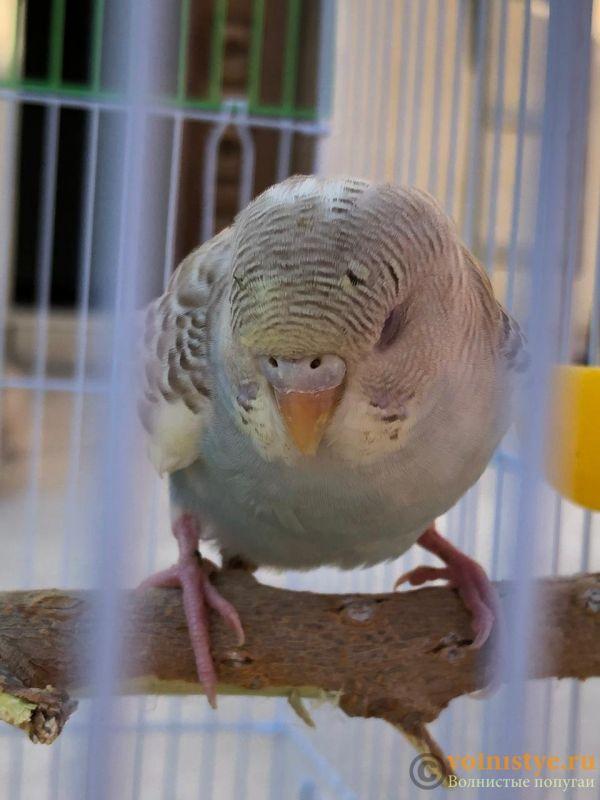 Определение пола и возраста попугаев № 12 - E81023C3-A4A9-475C-9E50-DED52959024F.jpeg