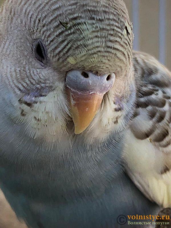 Определение пола и возраста попугаев № 12 - 646BD7EE-54BB-4FFC-87C6-B5138539E403.jpeg