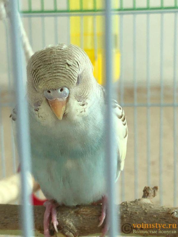 Определение пола и возраста попугаев № 12 - ED34E20B-28C2-4A6C-A70E-E43932192950.jpeg