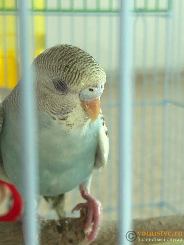 Определение пола и возраста попугаев № 12 - CCB8E9D5-4D8D-4F2E-B77E-896A106553A5.jpeg